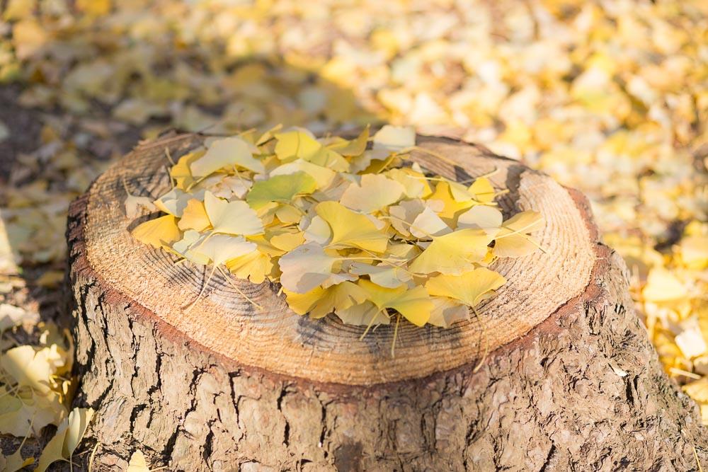 切り株にイチョウの葉